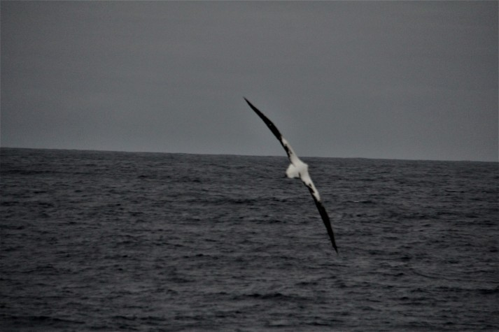 Albatross in full wing span flight